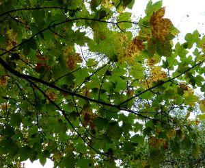 høstblad